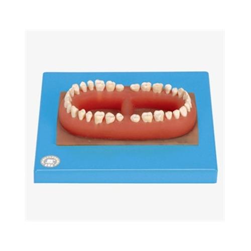 Juego de dientes de un adulto.
